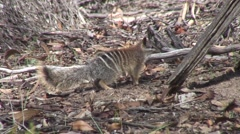 Numbat walk in forest 2 Stock Footage