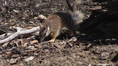 Numbat walk in forest 3 Stock Footage