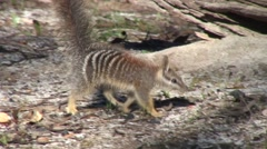 Numbat walk in forest 4 Stock Footage