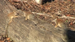 Numbats sit on tree trunk 2 Stock Footage