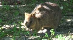 Quokka feeding on fruit 1 Stock Footage
