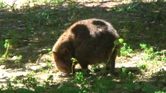 Quokka foraging in grass 2 Stock Footage