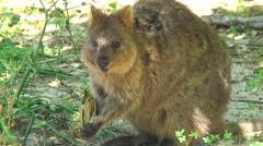Quokka feeding on leaf 1 Stock Footage