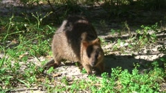Quokka foraging in grass 4 Stock Footage