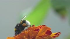 Bombus, abeja crawling on red flower in garden, macro, field, 4k Stock Footage