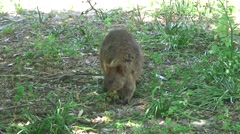 Quokka sit looking around 3 Stock Footage