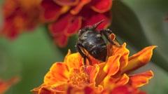 Bee, abeja crawling on red flower in garden, macro, field, 4k Stock Footage