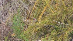 Red-eared Firetail feeding in bush 2 Stock Footage