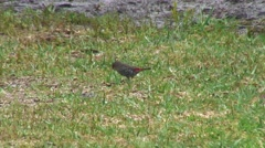 Stock Video Footage of Red-eared Firetail feeding on grass field 1