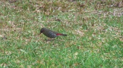Stock Video Footage of Red-eared Firetail feeding on grass field 2