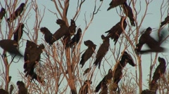 Red-tailed Black-Cockatoo flock perched on branch with sound 1 Stock Footage