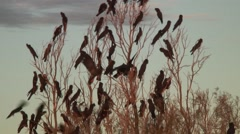 Red-tailed Black-Cockatoo flock perched on branch with sound 3 Stock Footage