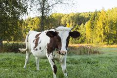 Aggressive Young Cow Stock Photos