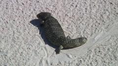 Rottnest Island Shingleback crawling on sand 1 Stock Footage