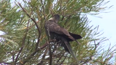 Short-billed Black Cockatoo feeding in tree 1 Stock Footage