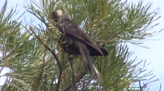 Short-billed Black Cockatoo feeding in tree 2 Stock Footage
