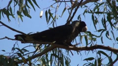 Short-billed Black Cockatoo walk in tree 2 Stock Footage