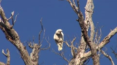 Western Corella perched in tree screaming and cleaning feathers Stock Footage