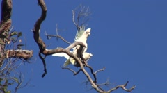 Western Corella perched in tree screaming Stock Footage