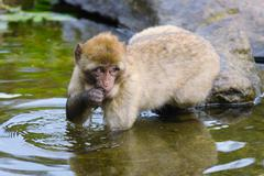 Portrait of Young Barbary macaque Stock Photos