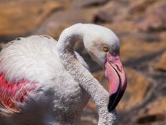 Detailed view of pink flamingo - stock photo