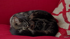 Stock Video Footage of cat portrait, feels well and is cozy on a light red sofa