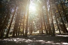 Pinewood forest Stock Photos