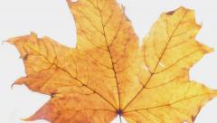 Autumn maple leaves on a gleam. Stock Footage