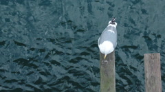 Stock Video Footage of Confused seagull on a pier investigates the surrounding area