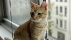 Orange tabby cat sitting on windowsill looking across the street 4K Manhattan NY Stock Footage