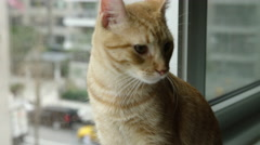 Orange Tabby cat sitting on window sill taxis driving by in background NYC 4K - stock footage