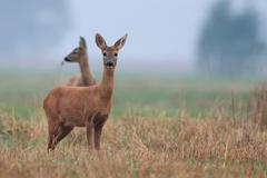 Stock Photo of Roe-deer in the morning mist