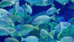 Tropical Fish School Swimming Around Reef Stock Footage
