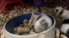 Caged mice eating in food bowl Stock Footage