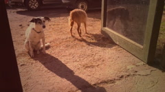 Two dogs on farm vintage video 8mm Stock Footage