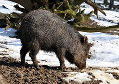 Wild boar in the winter Kuvituskuvat