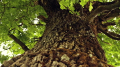 Oak tree - Vertical Dolly Stock Footage