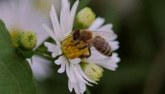 Bee Harvesting Pollen - Closeup Stock Footage