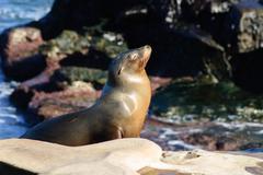 Sun Worshiping Sea Lion - stock photo