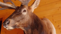 A large trophy elk mount on the wall Stock Footage