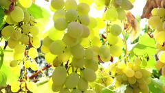 Vineyard with lensflare, sun shines through grapes 4k Stock Footage