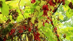 Branch of red ripe schisandra Stock Footage