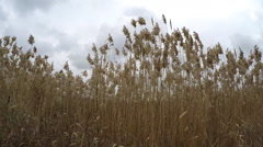 Moving slowly among reed, steady cam shot. Stock Footage