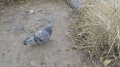 Gray pigeon near river, steady cam shot. Stock Footage