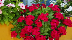 Red phlox, close up Stock Footage