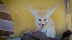 A fennec fox portrait Stock Footage