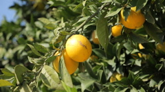 Oranges growing on a tree in citrus plantation Stock Footage