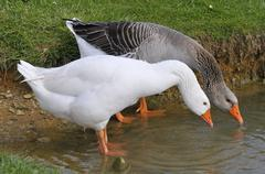 Geese drinking from a pond - stock photo