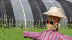 Scarecrow with sunglassed in paddy field - stock photo
