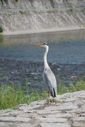 Stock Photo of Heron by Kamo-Gawa River